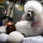 В Нью-Йорке выберут «Мисс мира» среди собак