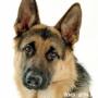 Собаки заменят ДНК-тестирование?