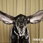 Длинные уши — повод для гордости
