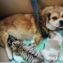 Собака стала мамой для амурских тигрят