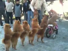 Собаки показывают паровозик