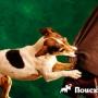 Подготовка собаки к началу занятий по фристайлу