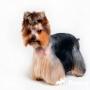 Предвыставочная подготовка собаки (косметика, ринговки, аксессуары)