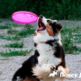 Дог-фрисби: как приучить собаку к тарелке?