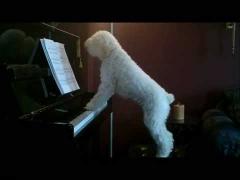 Четвероногий пианист!