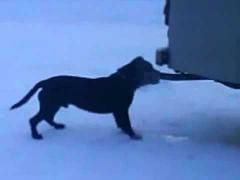 Собака-токсикоман