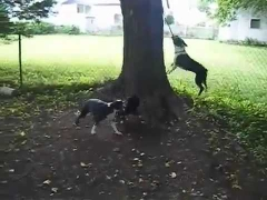 Собаки прыгают на тарзанке