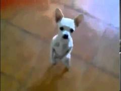 Пес танцует самбу!