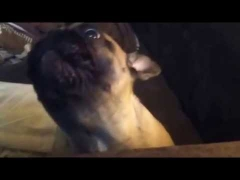 Собака ругается голосом!