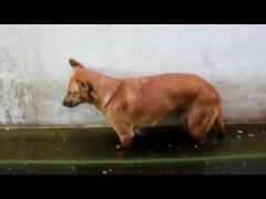 Собака уснула стоя!