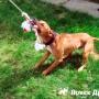Как подготовить собаку к соревнованиям по спрингполу?