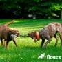 Дог-пуллинг - перетягивание каната собаками