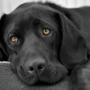 Собаки понимают человеческую речь