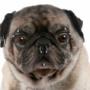 В штате Нью-Йорк запретили татуировки и пирсинг у собак