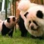 В итальянском цирке собаки «работали» пандами