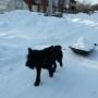 Пес-трудяга убирает снег и носит воду