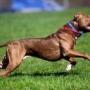 В России введут обязательную дрессировку собак