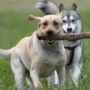 Как научить собаку апортировке
