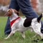 Как научить собаку ходить рядом без поводка