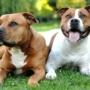 Вязка собак - что нужно знать?
