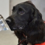 Собаки диагностируют рак простаты