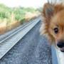 Собакам разрешили ездить в «Сапсанах»