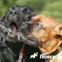 На содержание бойцовской собаки может потребоваться лицензия