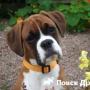 Собаки-брахицефалы