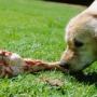 Почему собакам нельзя свинину?
