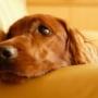 Почему собаку рвет желтой пеной?