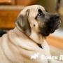 В Англии исчезают крупные породы собак