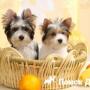 Как выбрать щенка для выставок и разведения?