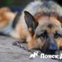 Как выбрать собаку для охраны?