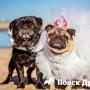 В Австралии поженили мопсов