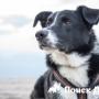 Исследовать болезни человека помогут собаки-«интеллектуалы»