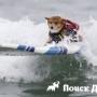 Собаки-серферы состязались в Австралии