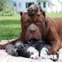 Питбуль-гигант стал отцом 8 щенков
