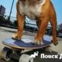 Бульдог-скейтбордист стал звездой интернета