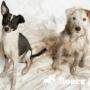 Собаки помогут победить брахицефалию
