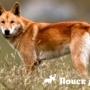 В Австралии обнаружены две породы собак динго