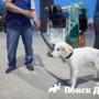 Клонированная якутская лайка Кэрэчээнэ едет в Москву