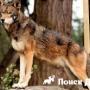 У собак обнаружили ДНК волка