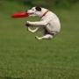 Дог-фризби - любимая игра собак и их хозяев