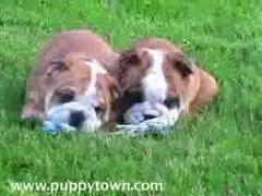 Забавные щенки бульдога