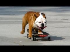 Бульдог-скейтер