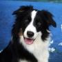 Самые самые умные собаки