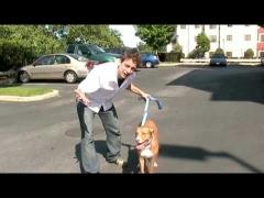 Как отучить собаку тянуть на поводке (en)