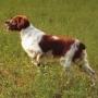 Обучение собаки гулять без поводка (методом кликера)