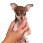 Маленькая собачка — большая забота, большая цена и большая любовь