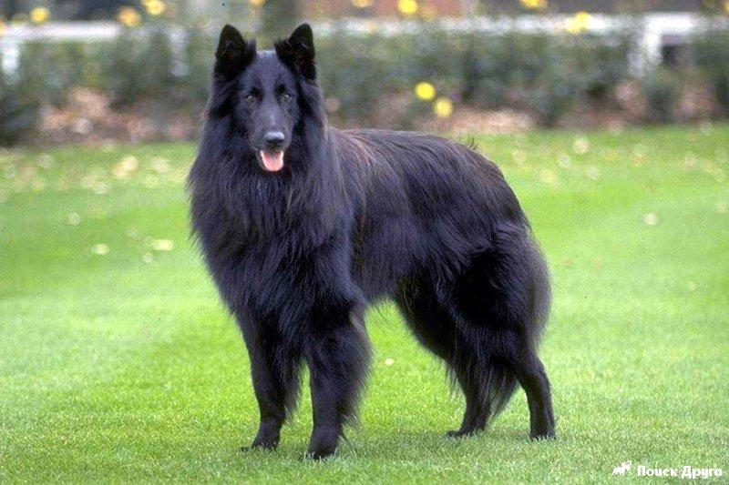 крупные собаки фото породы